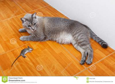 cat-kill-rat-close-up-thai-mouse-ceramic-floor-tiles-3642728