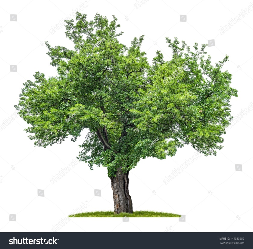 stock-photo-isolated-mulberry-tree-on-a-white-background-144333652.jpg